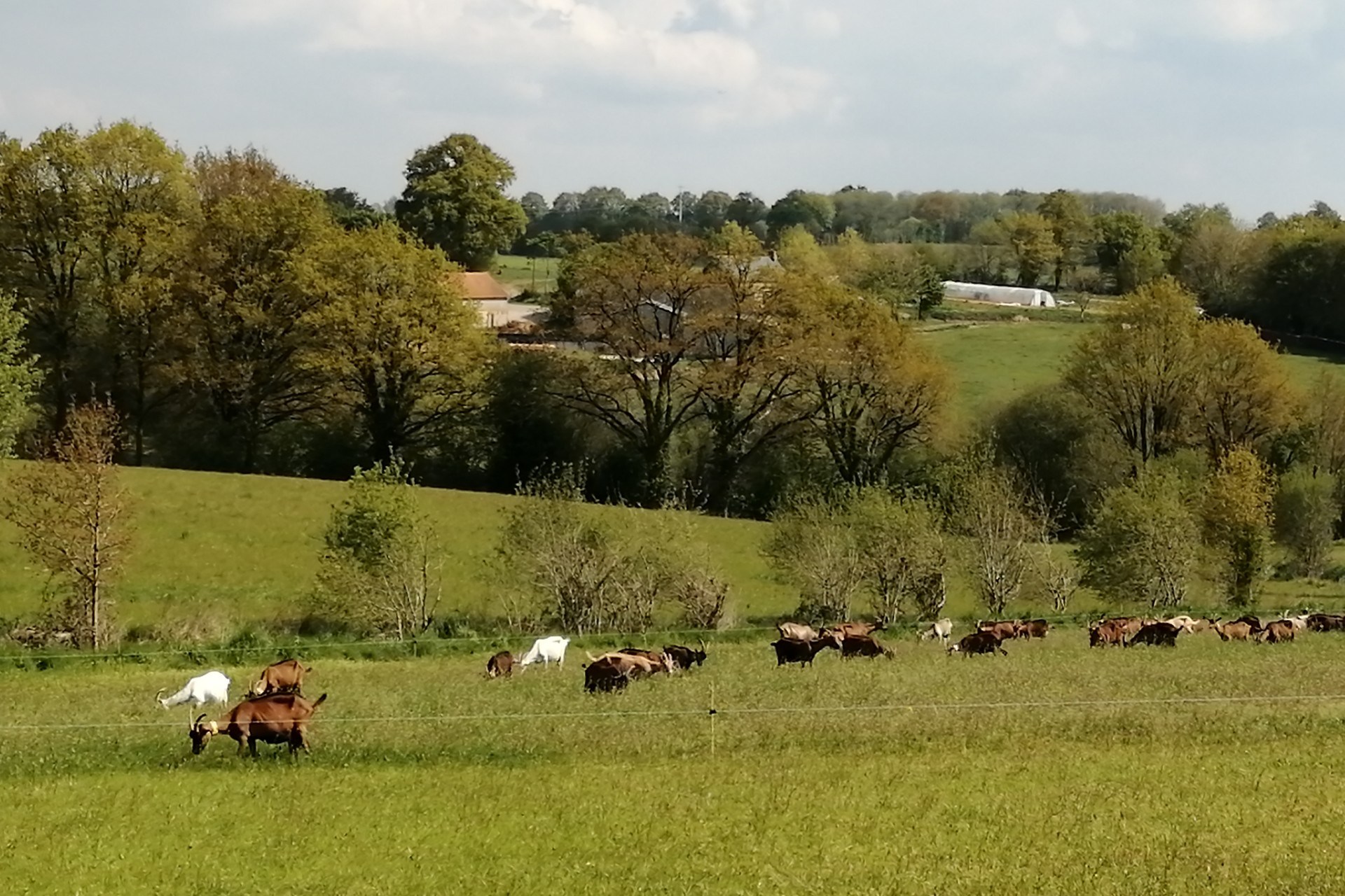Chèvres qui paturent